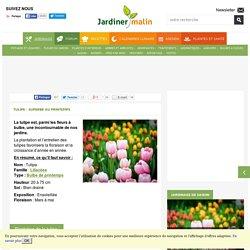 Tulipe : plantation et conseils d'entretien