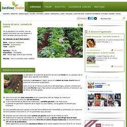 Pomme de terre : plantation, culture, recolte et maladies