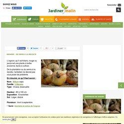 Oignon : plantation, semis, culture, recolte