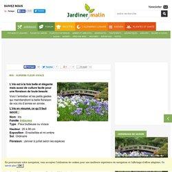 Iris : plantation et entretien des fleurs