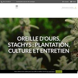 Oreille d'ours, Stachys : plantation, culture et entretien - Promesse de Fleurs