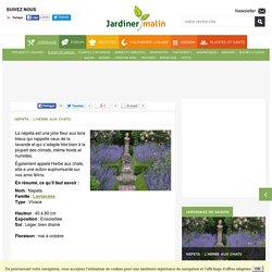 Nepeta : plantation, entretien et récolte