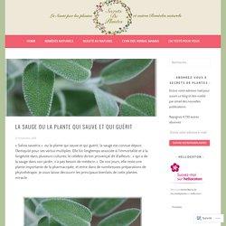 La Sauge ou la plante qui sauve et qui guérit – Secrets de plantes