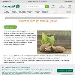 Planter la poire de terre ou yakon