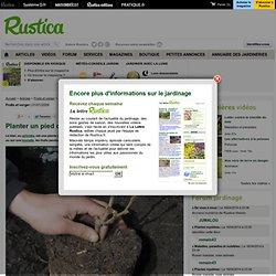 Planter un pied de kiwi