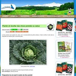 Planter et récolter des choux pommés ou cabus