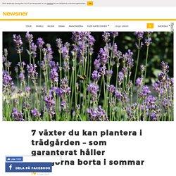 7 växter du kan plantera i trädgården – som garanterat håller myggorna borta ...