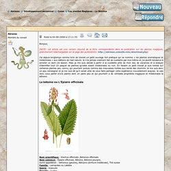 Les plantes Magiques - La Bétoine