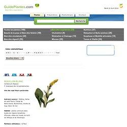Guide des plantes - voies respiratoires - Bouillon blanc