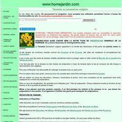 PLANTES AMIES - TANAISIE ou TANACETUM VULGARE