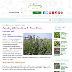 Planting Alfalfa: How To Grow Alfalfa