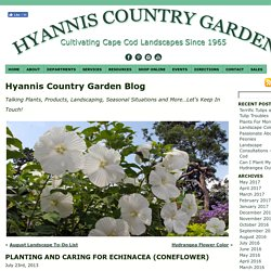 Planting and Caring For Echinacea (coneflower) « Hyannis Country Garden