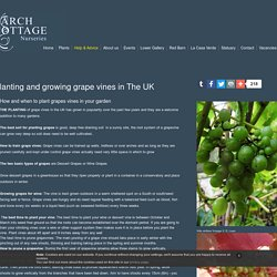 Planting and growing grape vines in The UK