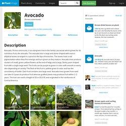 Avocado: Diseases and Pests, Description, Uses, Propagation