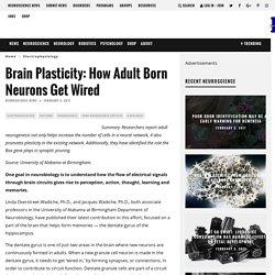 Brain Plasticity: How Adult Born Neurons Get Wired – Neuroscience News