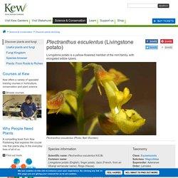 Plectranthus esculentus (Livingstone potato)