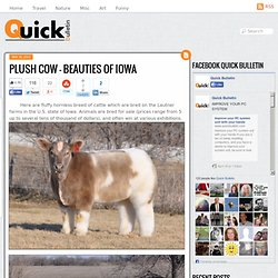 Plush cow - beauties of Iowa