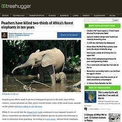 Poachers have killed two-thirds of Africa's forest elephants in ten years