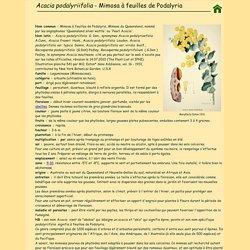 Mimosa podalyriifolia - Mimosa du Queensland