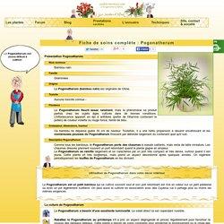 Pogonatherum,Bambou nain, culture, soins et conseils