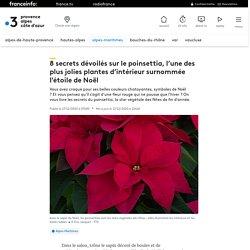 8 secrets dévoilés sur le poinsettia, l'une des plus jolies plantes d'intérieur surnommée l'étoile de Noël
