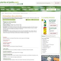 Teigne ou ver du poireau (Maladies des plantes)