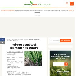 Poireau perpétuel : plantation et culture