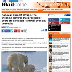 Polar bears: Cannibal pictures prove they'll even eat bear cubs