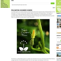 How to Self Pollinate Cucumbers