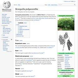 Acacia polyacantha