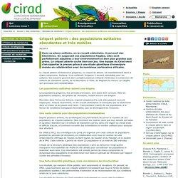 CIRAD - JUIN 2014 - Criquet pèlerin : des populations solitaires abondantes et très mobiles
