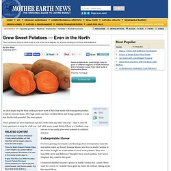 Grow Sweet Potatoes — Even in the North - Organic Gardening