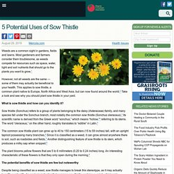 5 Potential Uses of Sow Thistle