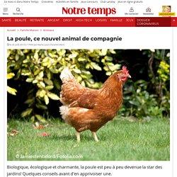 La poule, ce nouvel animal de compagnie
