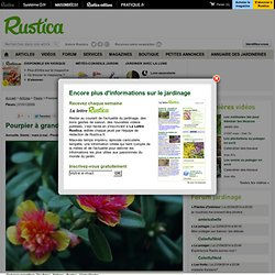 Pourpier à grandes fleurs (Portulaca grandiflora)