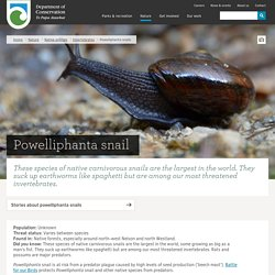 Powelliphanta snail: Invertebrates