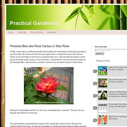 Practical Gardening: Pereskia Bleo aka Rose Cactus or Wax Rose