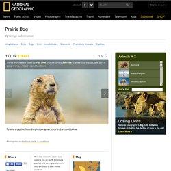 Prairie Dogs, Prairie Dog Pictures, Prairie Dog Facts