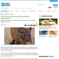 World's least known top predator is half-cat, half-mongoose