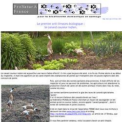 Le premier anti limaces écologique : le canard coureur indien.