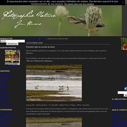 Premiers ibis au marais du Duer - Photographie Nature