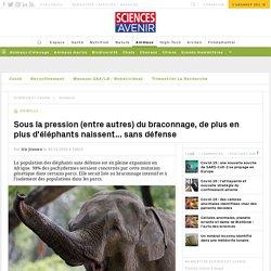 Sous la pression (entre autres) du braconnage, de plus en plus d'éléphants naissent... sans défense