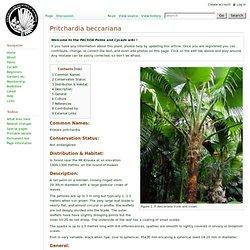 PACSOA - Pritchardia beccariana