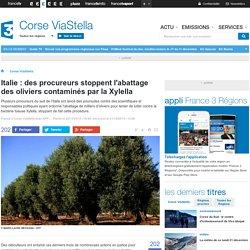 Pouilles, arrêt de l'abattage des oliviers