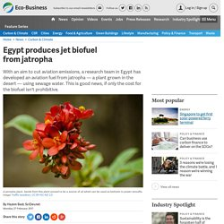 Egypt produces jet biofuel from jatropha