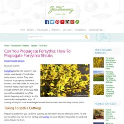Propagating Forsythia Plants – How To Grow Forsythia From Seed And Cuttings