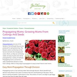 Mum Propagation: How To Start Mums From Seeds And Cuttings
