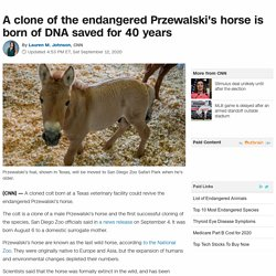 Przewalski's horse: Cloned colt could help preserve this endangered animal