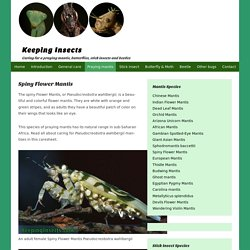 Spiny Flower Mantis - Pseudocreobotra wahlbergii