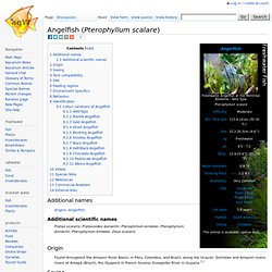 Pterophyllum scalare - The Free Freshwater and Saltwater Aquarium Encyclopedia Anyone Can Edit - The Aquarium Wiki